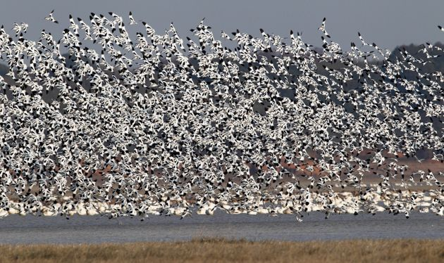 Half a million migratory birds, including the critically endangered Siberian crane, are said to flock...