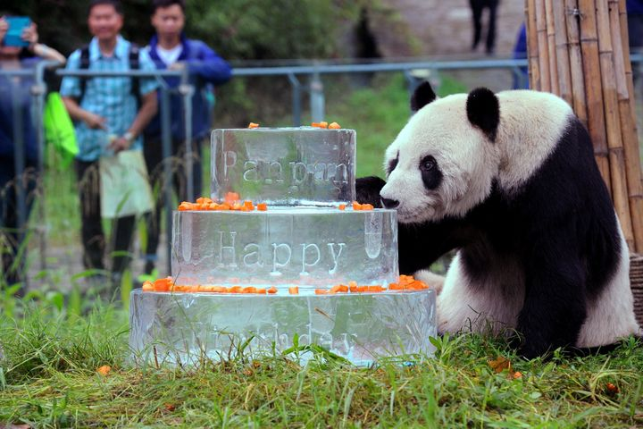 This photo taken on Sept. 21, 2015 shows giant panda Pan Pan sniffing a birthday cake made of ice for his 30th birthday at th