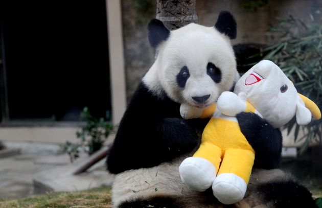 Pan Pan holds a mascot of the 16th Asian Games at a zoo in Fuzhou on Nov. 12, 2010, to celebrate the...