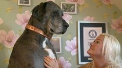This Great Big Great Dane Just Received A Huge