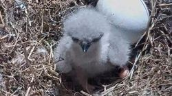 Nest's 'Eagle Cam' Is All That It's Cracked Up To