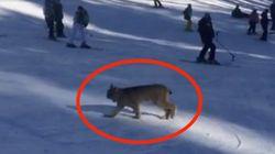 Rare Lynx Wanders Onto The Slopes At Colorado Ski
