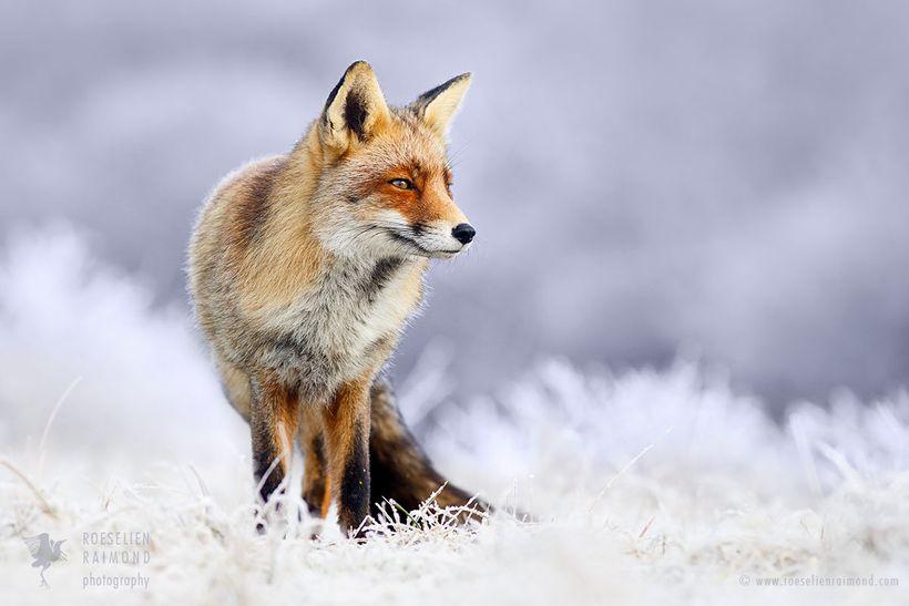 Red fox in a wintry landscape