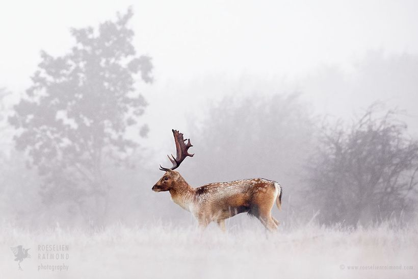 Fallow deer in the mist at a cold and foggy sunrise