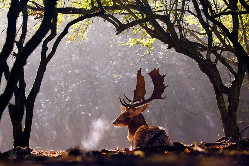 Fallow Deer with a breath cloud on a beautiful sunny autumn morning