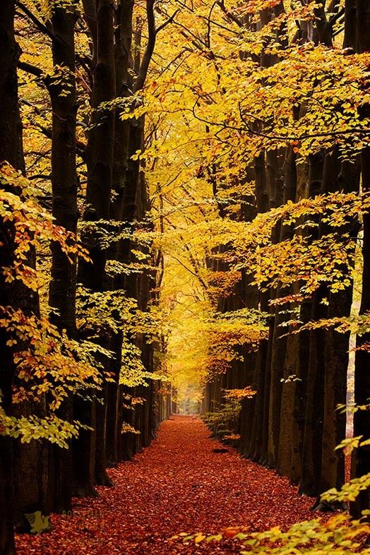 Beech trees in autumn forest