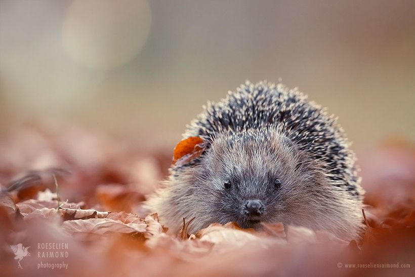 Hedgehog in an autumn setting