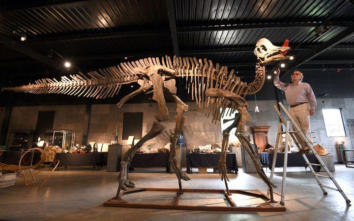 Auctioneer James Rylands dusts 'Freya' a fossilised Hypacrosaurus Stebingeri.