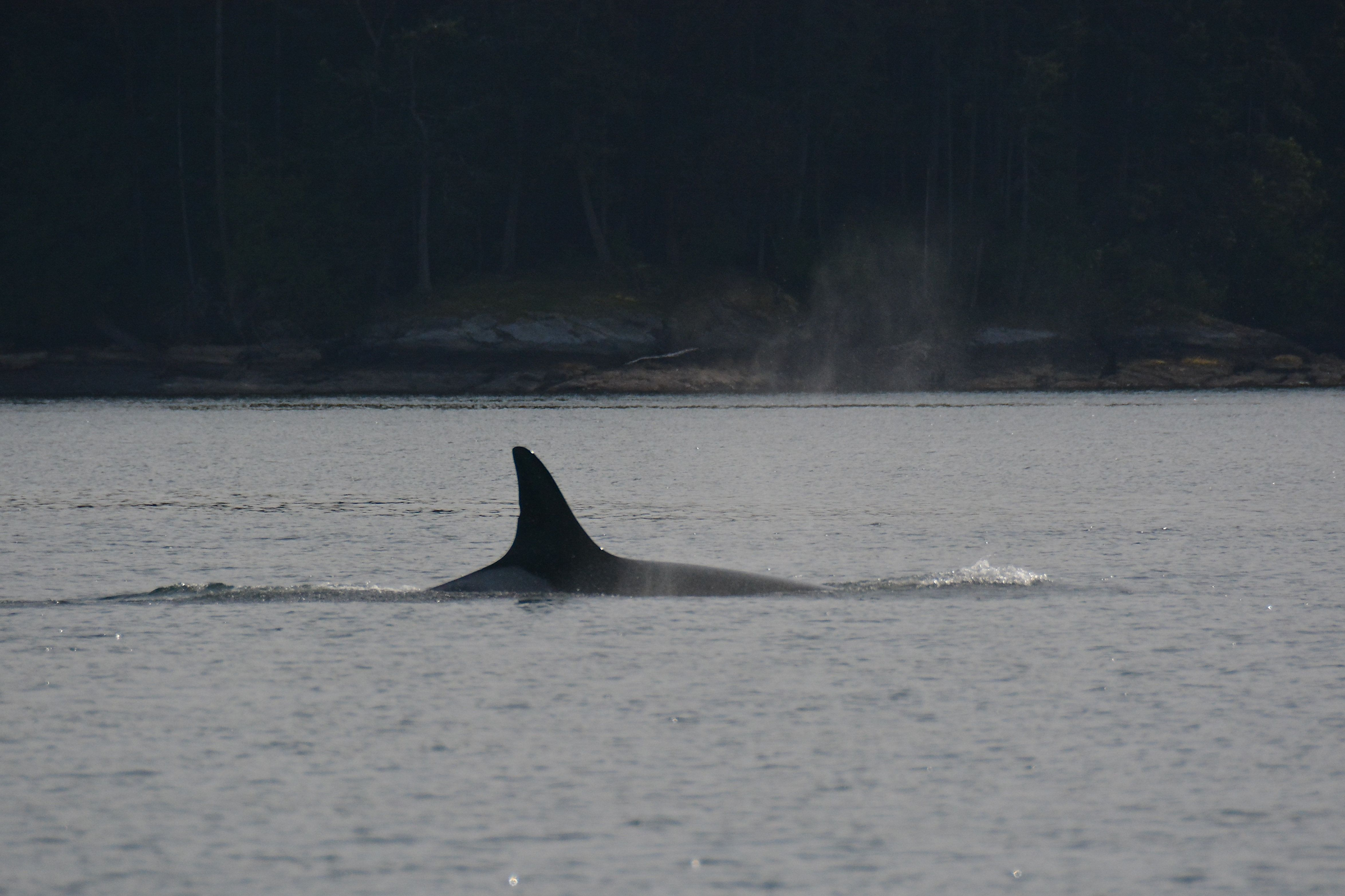 Born ~1911, female southern resident killer whale matriarch, Salt Spring Island, BC.