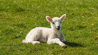 newborn lamb basking on spring meadow
