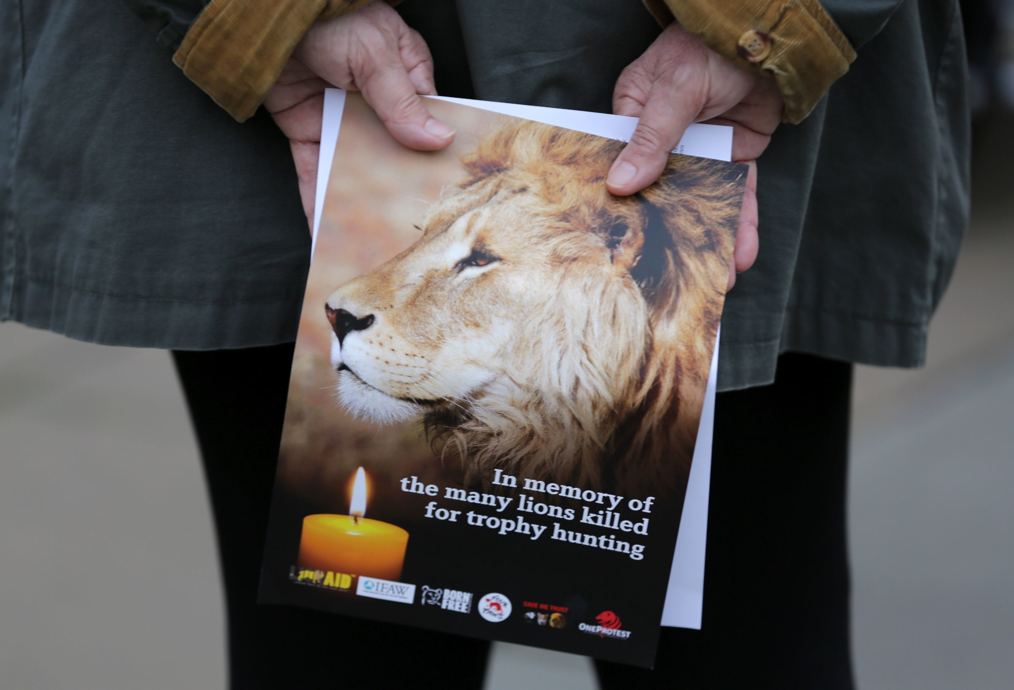 A pamphlet showing an image of Cecil the lion, is held at a vigil in central London on July 30, 2016. Cecil was killed by American dentist and trophy hunter, Walter Palmer, in Zimbabwe on 1st July 2015. The vigil will remember Cecil, as well as all lions that have tragically lost their lives to trophy hunting.  / AFP / DANIEL LEAL-OLIVAS        (Photo credit should read DANIEL LEAL-OLIVAS/AFP/Getty Images)