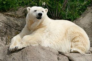 Tundra in an undated photo from the Indianapolis Zoo.