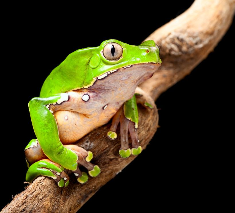 The Giant Monkey Tree Frog