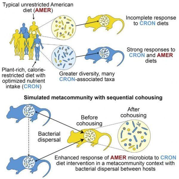 The illustration above depicts how gut bacterial communities change in response to dietary interventions.