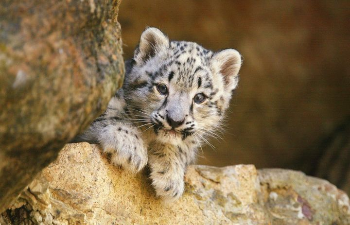 A snow leopard cub at Taronga Zoo in Sydney, Australia.