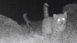Scientists Say These Are The First Snow Leopard Quadruplets Seen In The