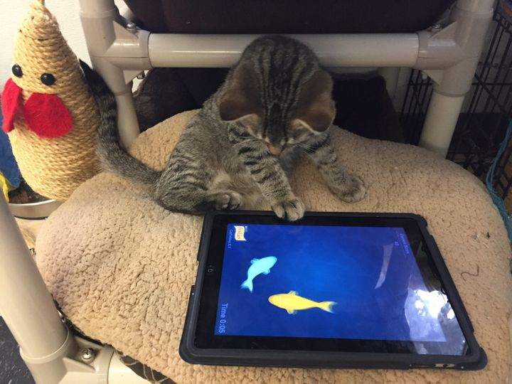 The Regina Humane Society has introduced iPads as a way to give their resident cats a new and fun activity.