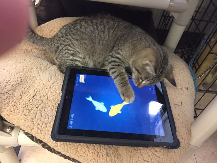 A shelter spokesman said one of the most surprising things about introducing the iPads was how the cats would wait and take t