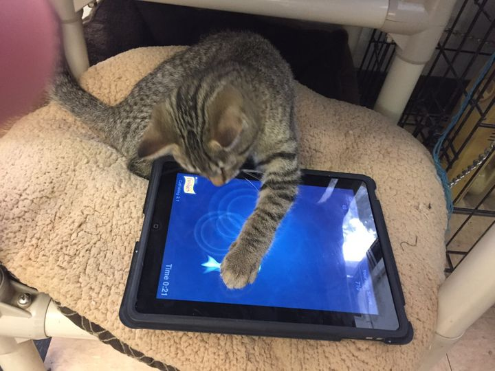 Using the iPad is also a great way to get younger human volunteers engaged in playing with the cats.