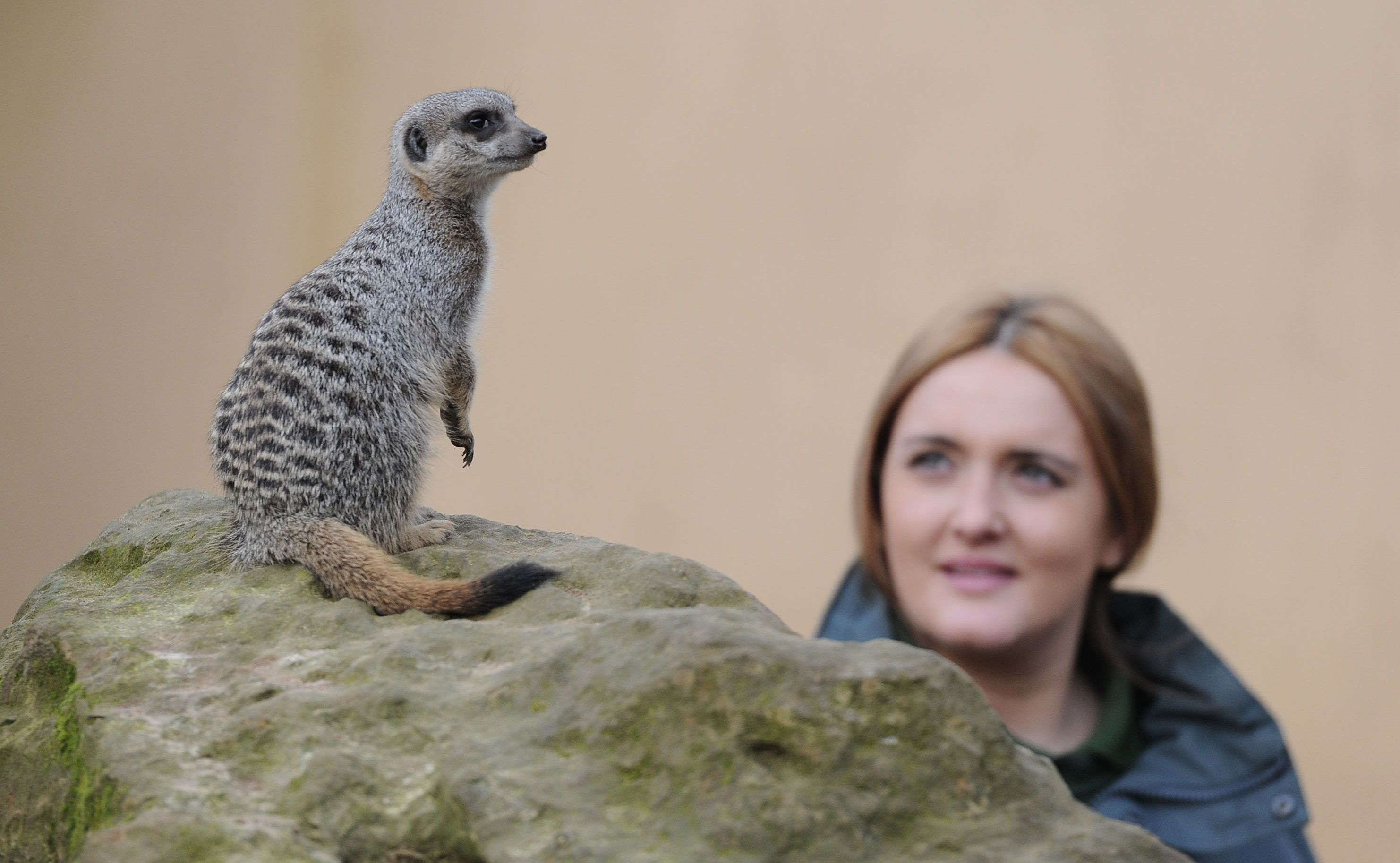 Zoo keeper Caroline Westlake poses for photographers with a meerkat during the annual stocktake at London Zoo in north London on January 4, 2012. ZSL London Zoo embarked on January 4 on their annual complete head count of every animal at the zoo, which houses over 750 different species. AFP PHOTO / CARL COURT (Photo credit should read CARL COURT/AFP/Getty Images)