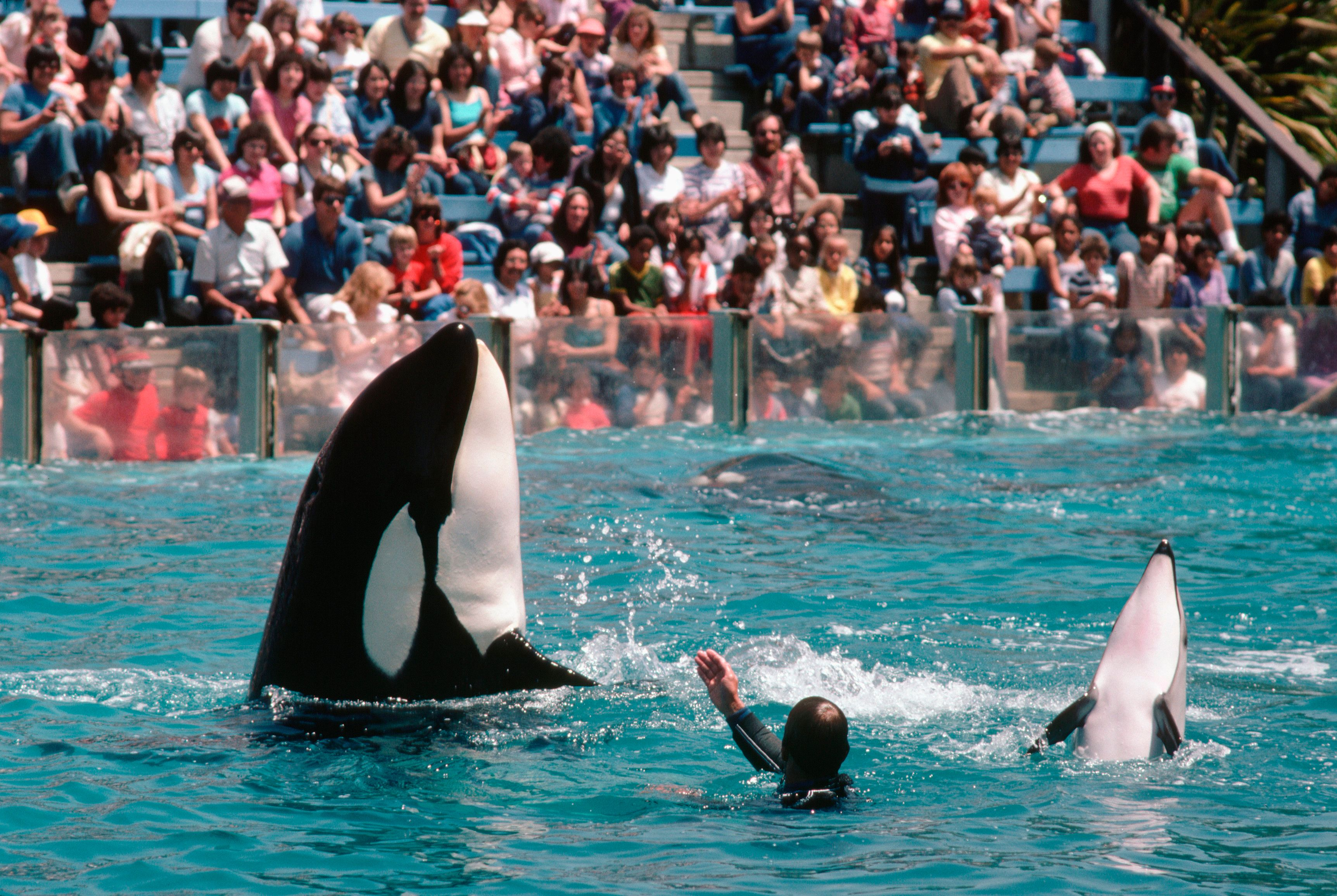 Orca whales perform tricks at San Diego's SeaWorld.