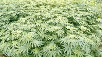 Field of Marijuana (Cannabis sativa) in Japan