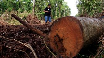 ACEH, INDONESIA - NOVEMBER 19: A man walks at a damaged area in a forest during a demonstration demanding the protection of Leuser Ecosystem, one of the richest expanses of tropical rain forest in Southeast Asia, in Aceh, Indonesia on November 19, 2016. One of the biggest threats to the Leuser Ecosystem is the building of road networks through the forest. The expansion of roads and settlements into this area lead to increased deforestation and allows illegal logging and poaching to be undertaken with greater ease. (Photo by Junaidi Hanafiah/Anadolu Agency/Getty Images)