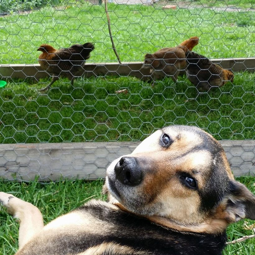 Dogs can coexist with chickens, particularly if they're exposed to each other at an early age