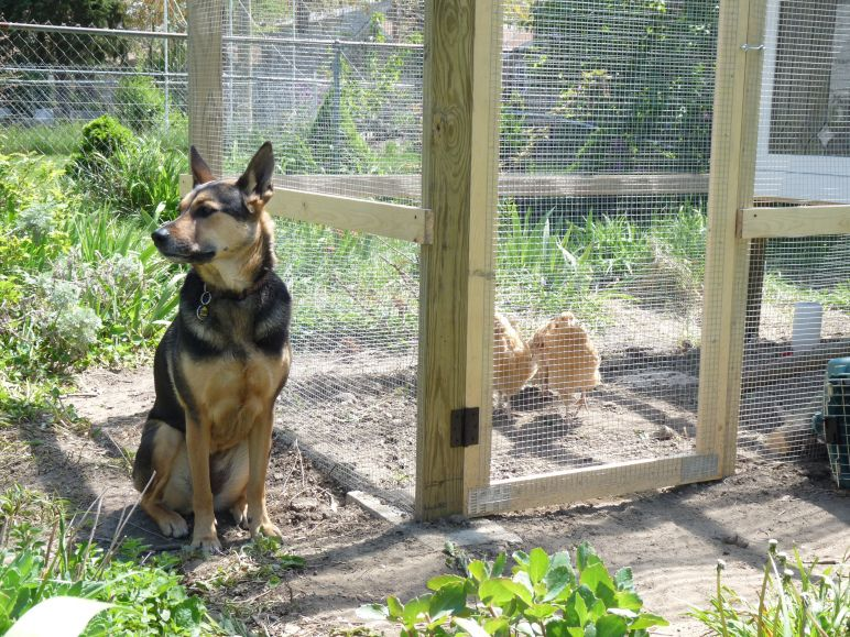 A trustworthy dog is relaxed and only mildly interested in your protected pullets