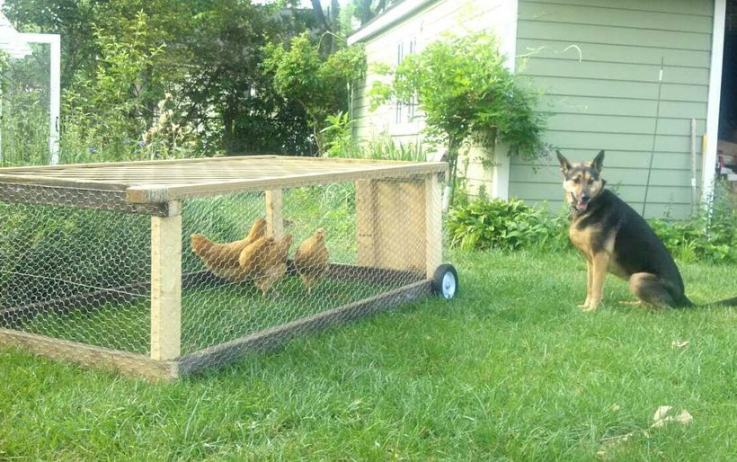 We used a chicken tractor along with the coop and run for purposes of training and desentization