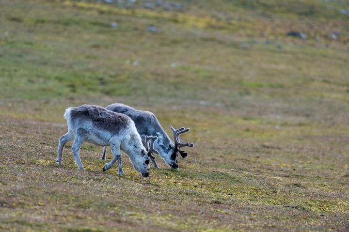 Based on measurements taken across 36 plots in Troms, Norway, researchers say sites heavily grazed by reindeer absorbed