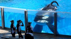 Tilikum, The 'Blackfish' SeaWorld Orca Who Killed A Trainer Has