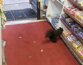 The squirrel thinks that a convenience store in Toronto is rolling out the red carpet for some candy.