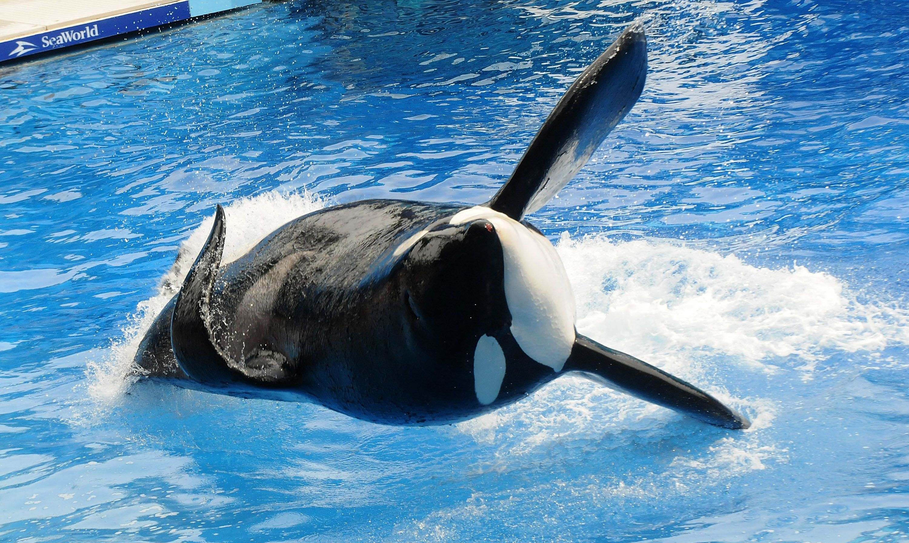 ORLANDO, FL - MARCH 30:  Killer whale 'Tilikum' appears during its performance in its show 'Believe' at Sea World on March 30, 2011 in Orlando, Florida.  'Tilikum' is back to public performance March 30, the first time since the six-ton whale has performed since killing trainer 40-year-old trainer Dawn Brancheau at the marine park on February 24 2010, after Sea World Parks & Entertainment president Jim Atchinson signed off on the decision this week. (Photo by Gerardo Mora/Getty Images)