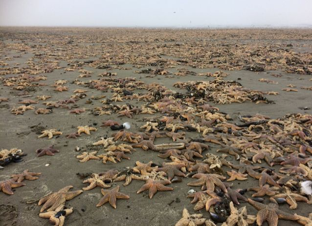 Thousands of dead Dutch sea stars, December 29, 2016.