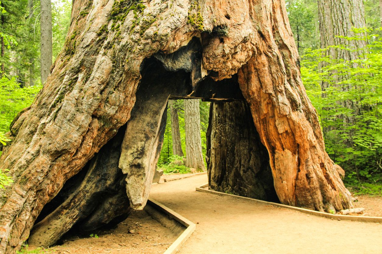 Tunnel in the Pioneer Cabin Sequoia Tree, cut in the 1880s at Calaveras Big Trees State Park