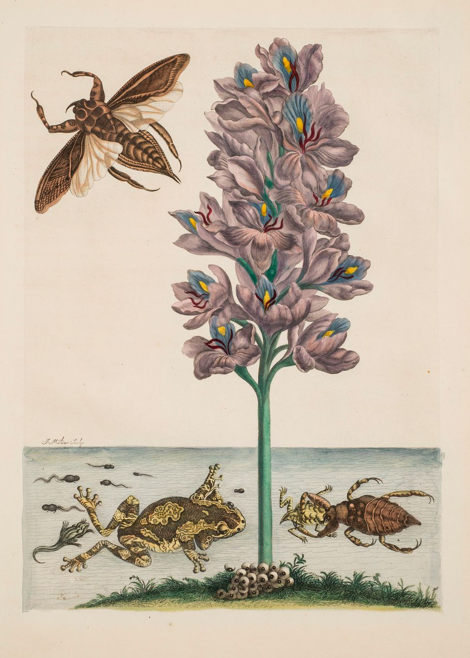 "Maria Merian, Plate 56 (from ""Dissertation in Insect Generations and Metamorphosis in Surinam"", second edition), 1719."