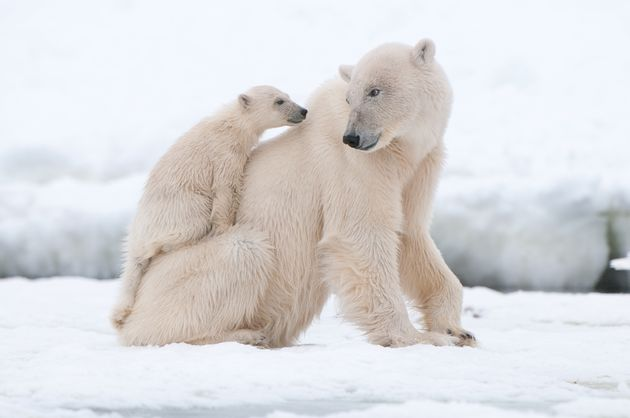Climate Change Will Kill Off The Polar Bears, Feds Warn