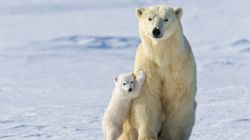 This Is Our Last Chance To Save Polar Bears From