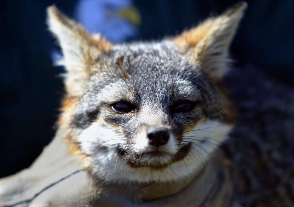 These tiny foxes endemic to Channel Islands National Park, a chain of islands off the coast of California, faced a