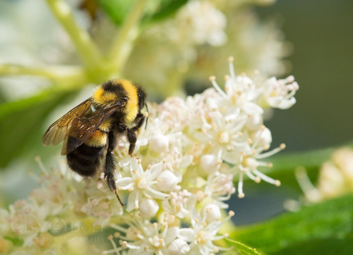 A rusty patched bumble bee in a 2015 photo provided by Clay Bolt and the Xerces Society. U.S. officials classified the bee as