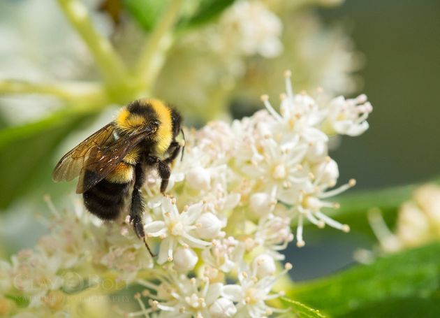 First Time In The US: Bumblebee Species Enters Endangered Species List
