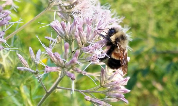 Therusty patched bumble beewas listed under the Endangered Species Act in