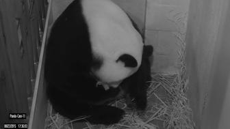 The National Zoo's giant panda Mei Xiang is shown in this Giant Panda Cam image released in Washington, DC August 22, 2015. Giant panda Mei Xiang gave birth to a cub at the Smithsonian?s National Zoo today.   REUTERS/Smithsonian's National Zoo/Handout     FOR EDITORIAL USE ONLY. NOT FOR SALE FOR MARKETING OR ADVERTISING CAMPAIGNS. THIS IMAGE HAS BEEN SUPPLIED BY A THIRD PARTY. IT IS DISTRIBUTED, EXACTLY AS RECEIVED BY REUTERS, AS A SERVICE TO CLIENTS