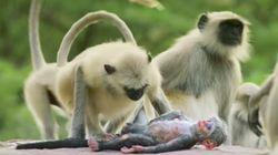 Heartbroken Monkeys Grieve Over 'Dead' Robotic Spy