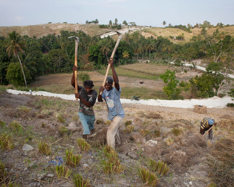 Workers dig up the roots of grass plants on a plantation outside Les Cayes on March 27, 2014.