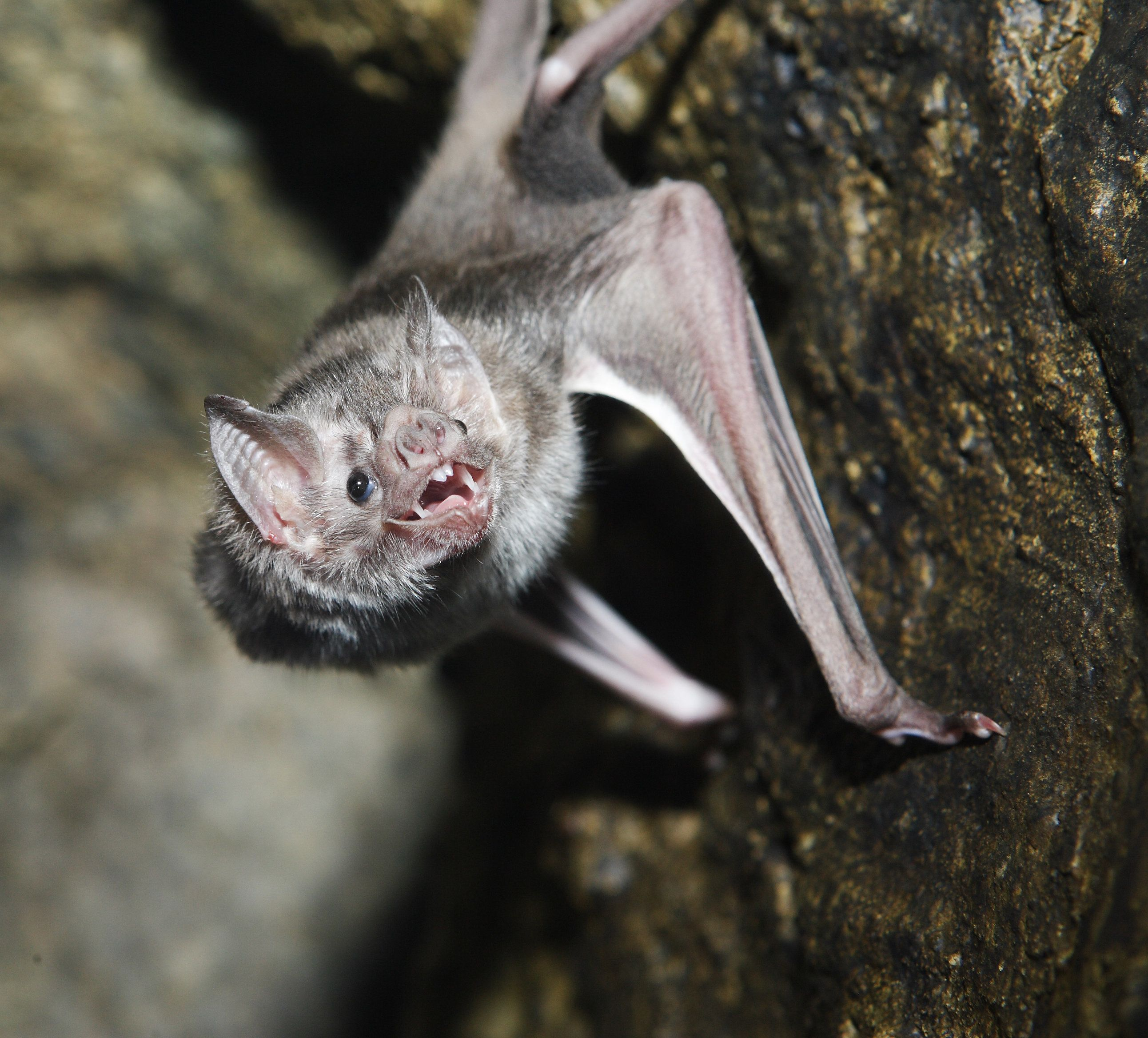 Our Worst Nightmare Has Come True: Vampire Bats Are Now Biting