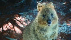 Lost 'Crafty Quokka' Who Escaped Island Home Has Australians On