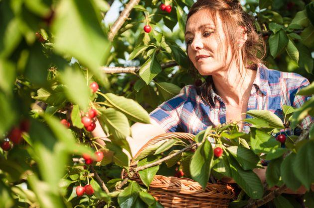 This woman picking cherries is literally everything Angela Merkel