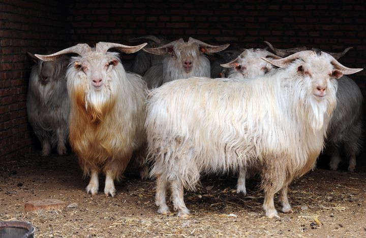 Cashmere goats, aka your future sweaters.